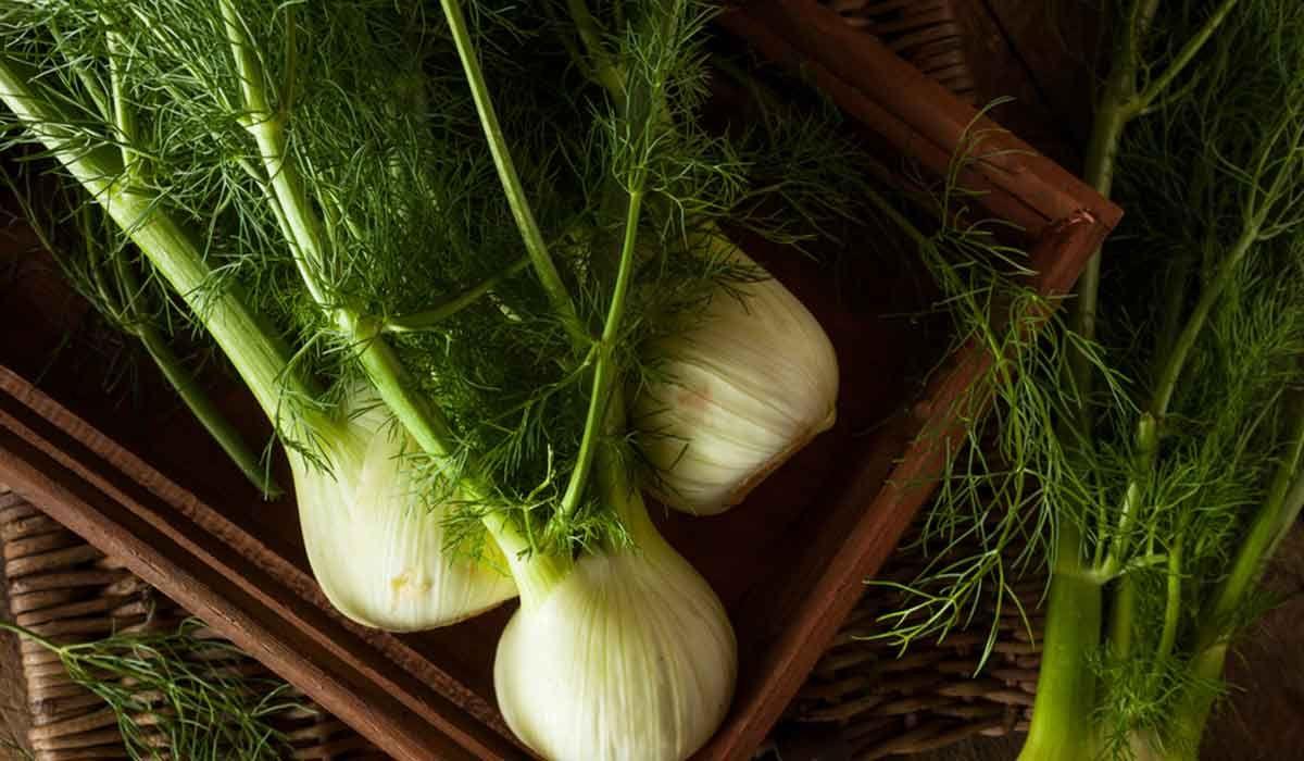 ما هي فوائد الشمر لتكبير الثدي والارداف Fennel Fennel Bulbs Organic Plants