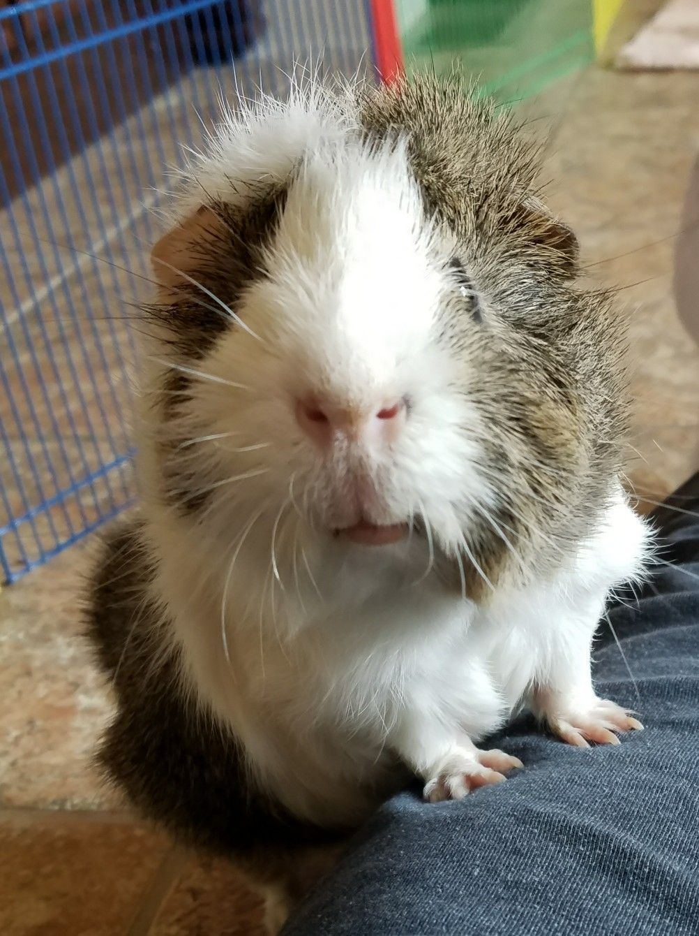 Pin On Crazy Guinea Pig Lady
