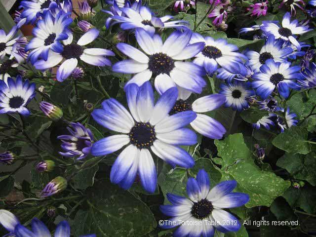 Cineraria Asterceae -Often associated with joy and longevity.