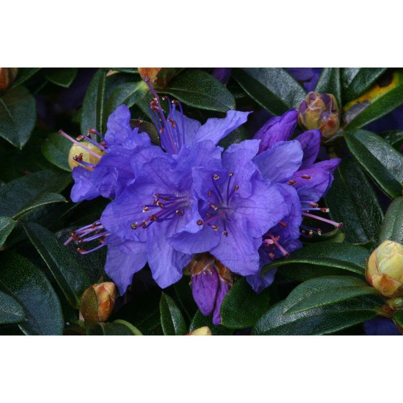 Purple Blue Patio Rhododendron Dwarf Gristede Dobbies Garden Centres Rhododendron Blue And Purple Flowers Purple Flowers