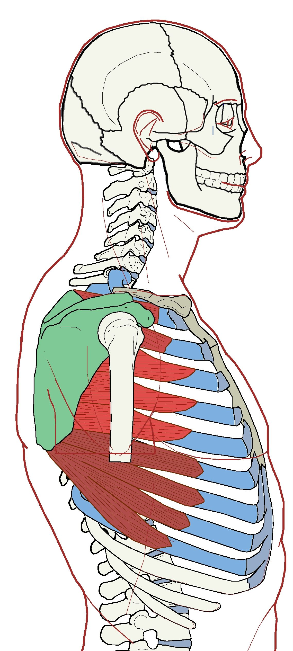 Serratus Anterior Functional Anatomy Anatomy Scapula And Muscles