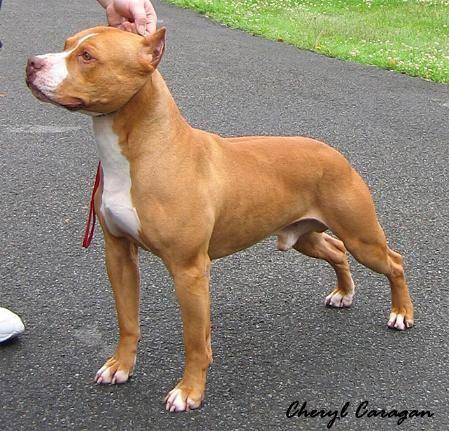 Staffy Bull Terrier Pitbull Terrier American Pitbull Terrier Pitbulls