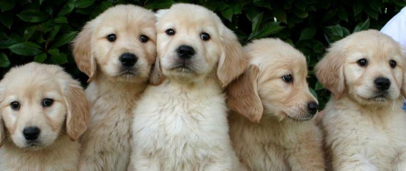 Golden Retriever Puppies Google Search Golden Retriever Golden Puppies Retriever Puppy