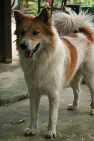 A Rare Breed The Thai Bangkaew By Tnywn Dog Breeds Spitz