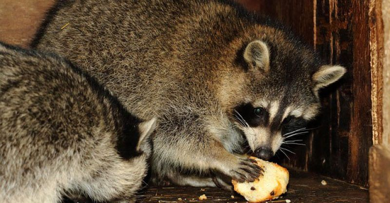 How to get rid of raccoons easy peasy steps that you