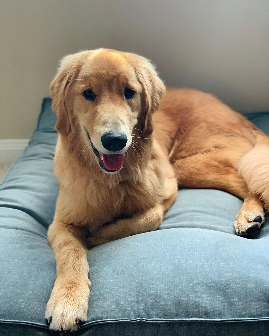 Hi There Goldenretriever Goldenretrievers Dogs Puppies