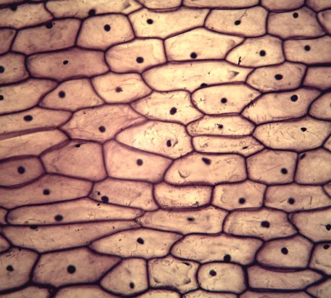 Onion Cell 2