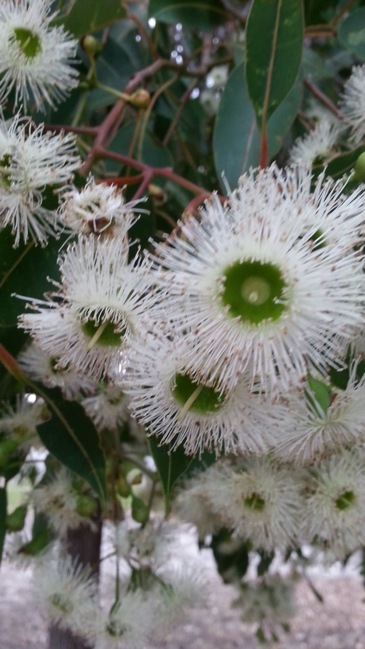 White Flowering Eucalyptus Tree Flowers Coupon Code Nicesup123