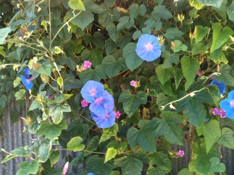 Morning Glory Ipomoea This Is A Classic Morning Glory And It S Beautiful Grows Best In Full Sun With Moderate Water T Plant Leaves Plants Morning Glory