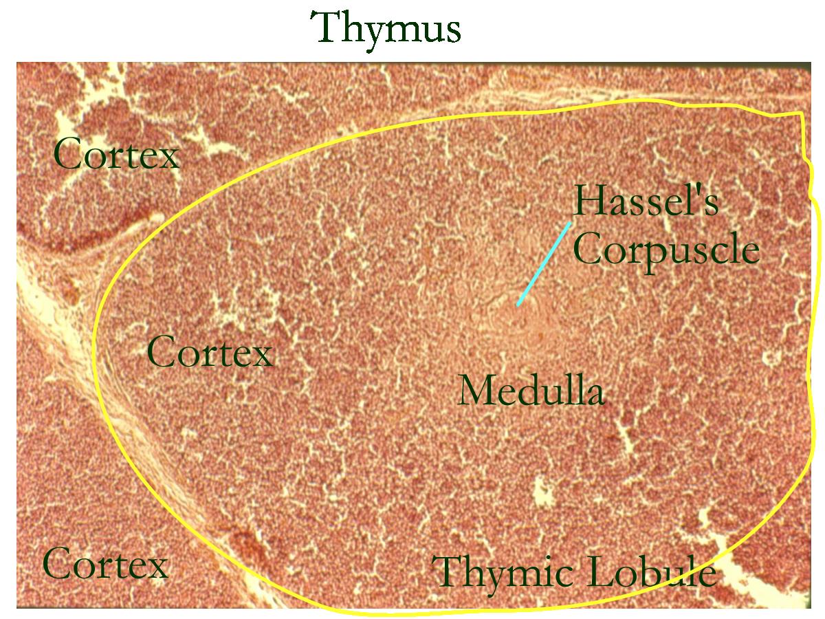 thymus slide labeled | Cat specimen: Spleen , Thymus , Ileum ...