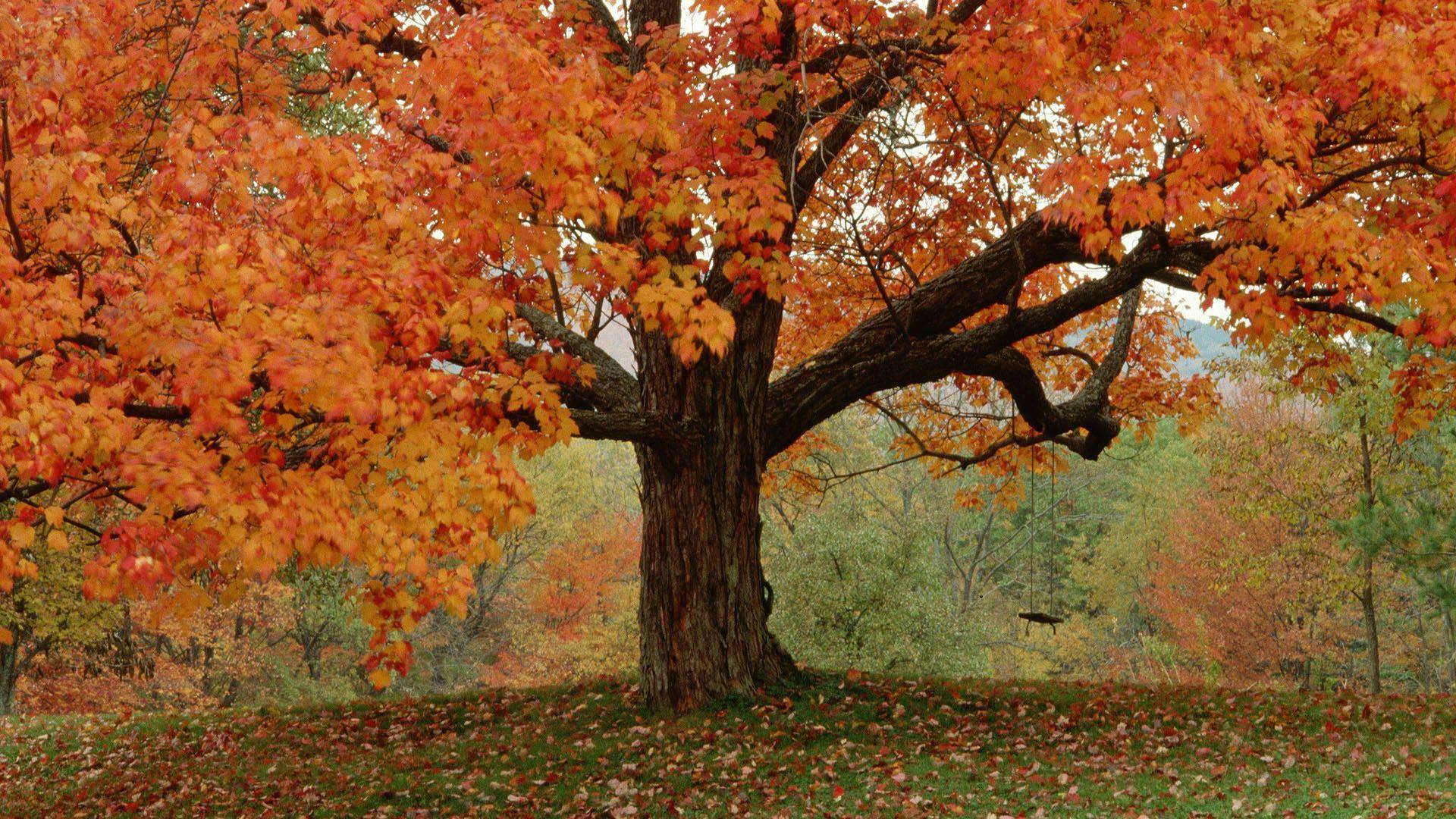 autumn tree wallpaper wallpapersafari | Осень | pinterest | autumn