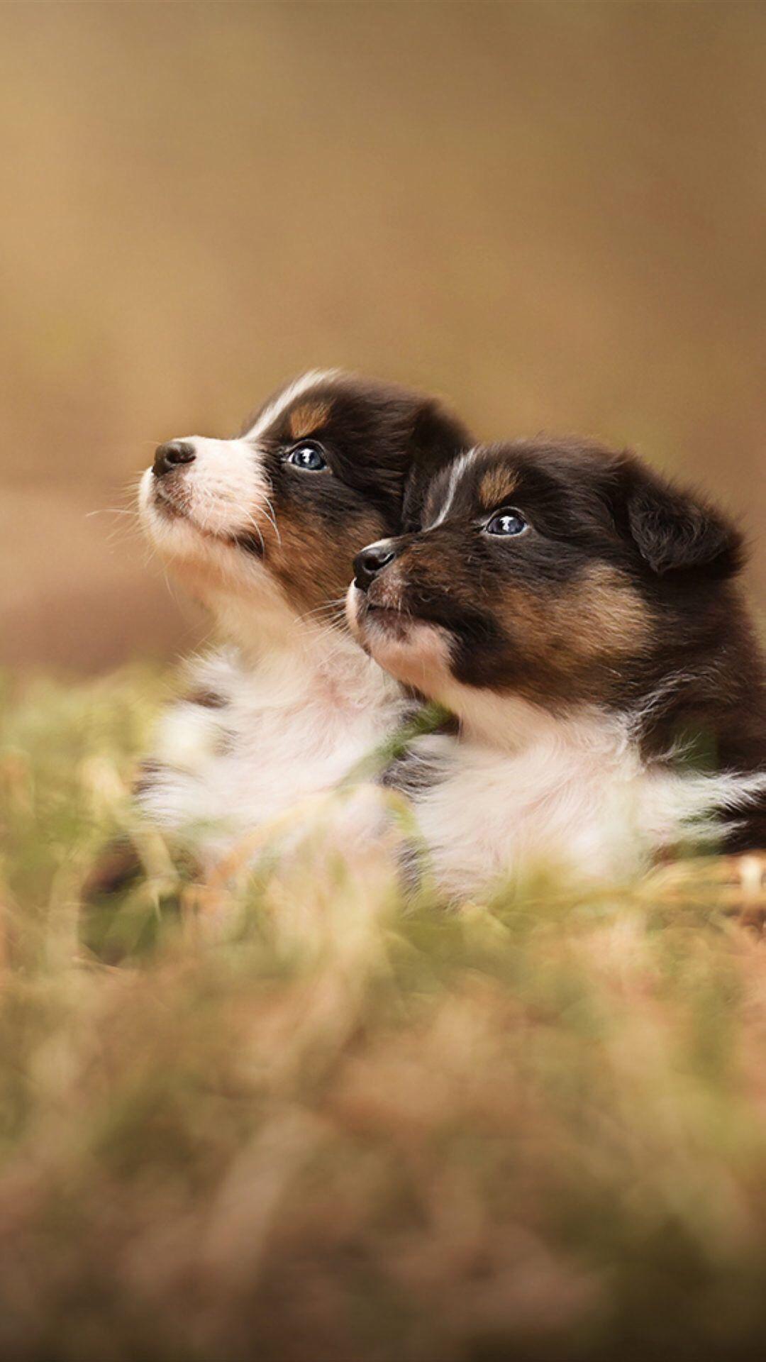 Park Art|My WordPress Blog_King Shepherd Puppies For Sale In Pa