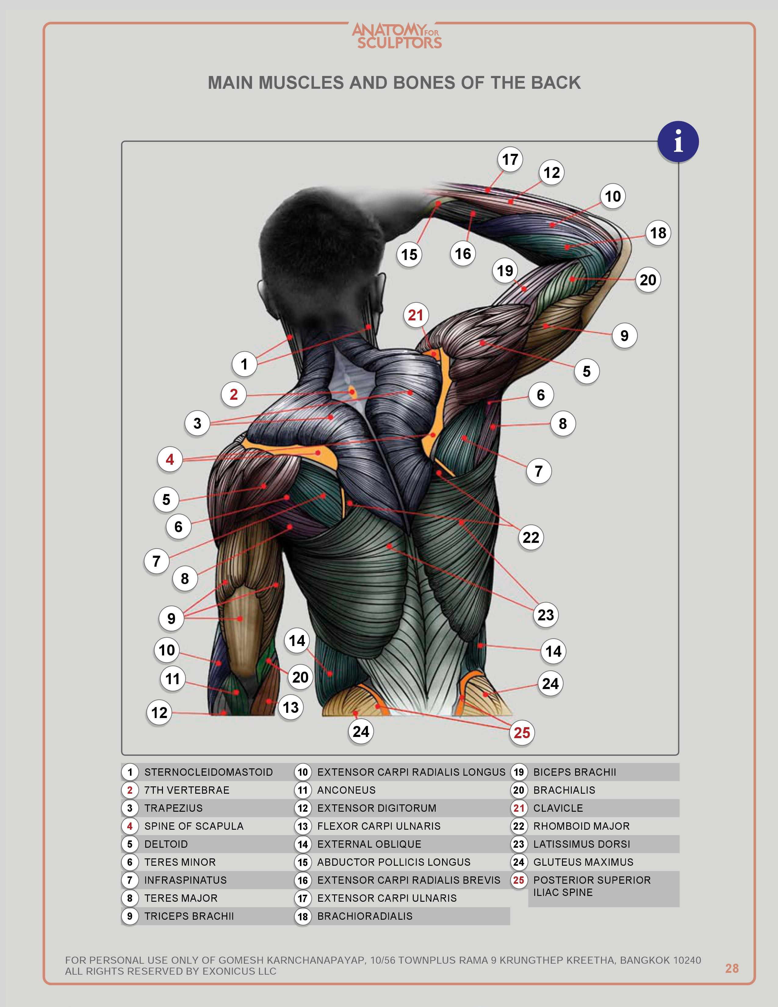MAIN MUSCLES AND BONES OF THE BACK | Human anatomy | Pinterest