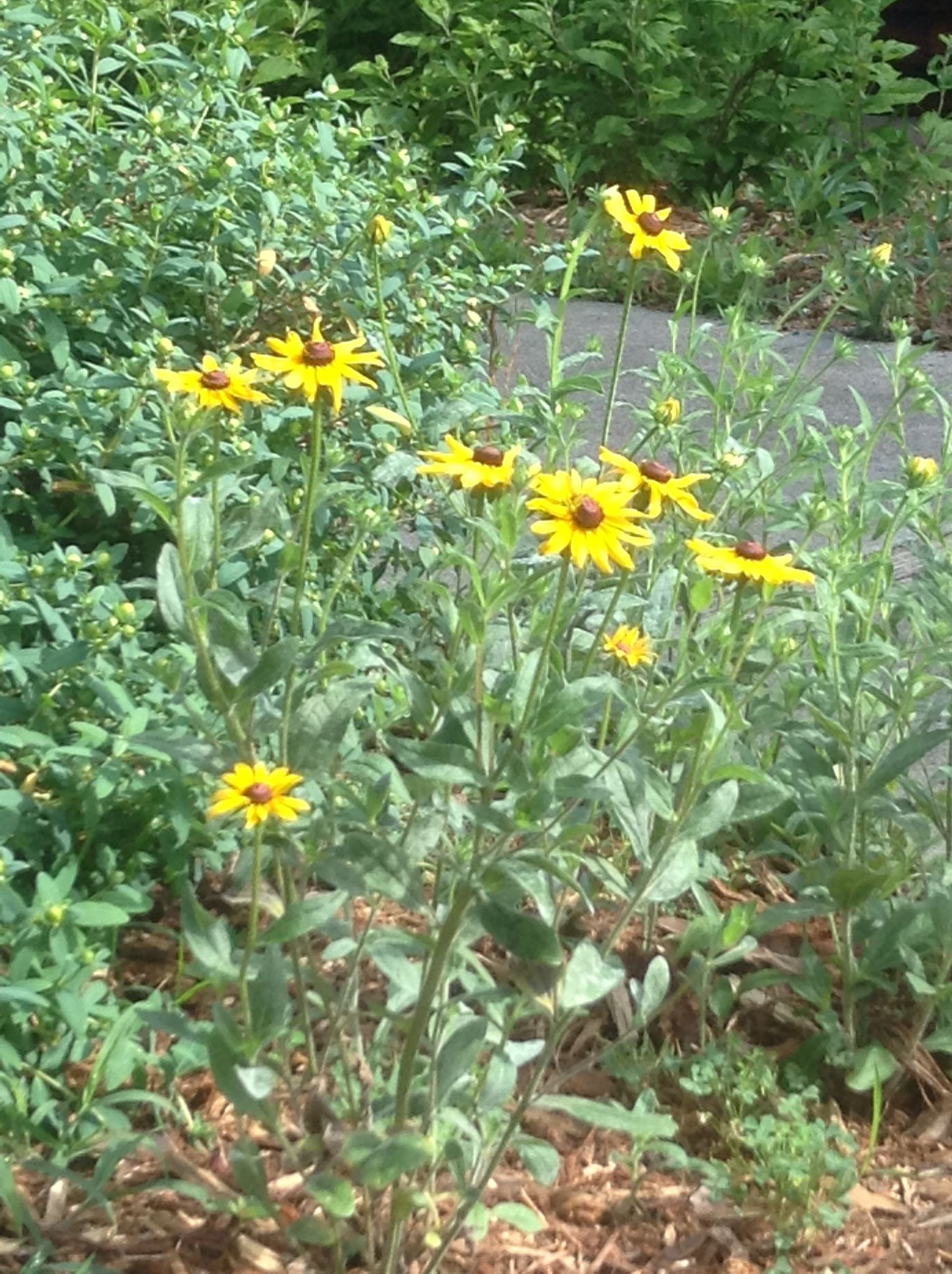 black eyed susans maryland state flower and illegal to pick in
