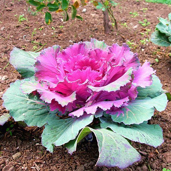 Planting Kale In Pots: Kale Flowering Ornamental Cabbage 100pcs