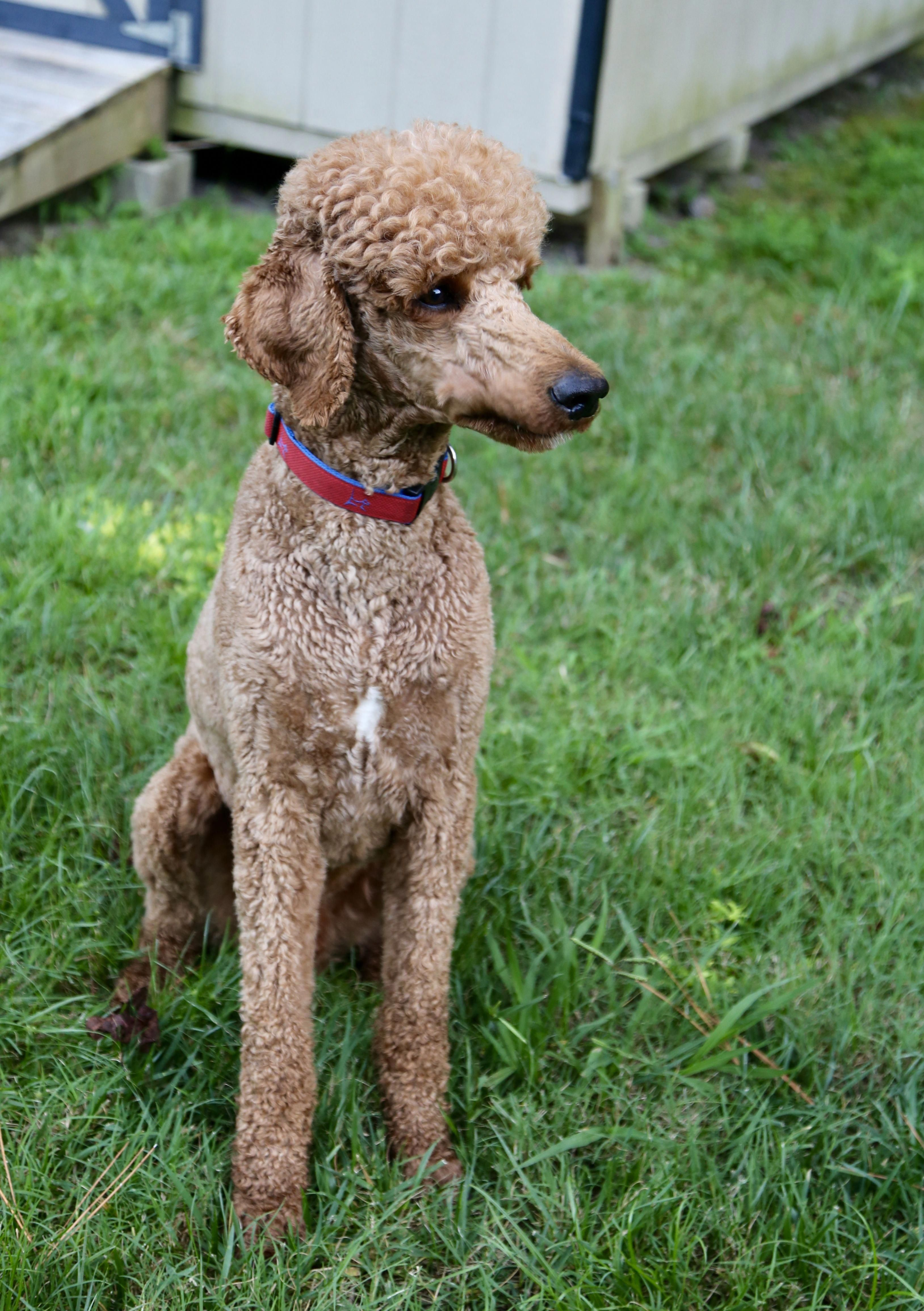 Dexter watching the kids red standard poodle