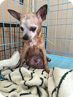 Chihuahua Dog for adoption in New York, New York Lorna