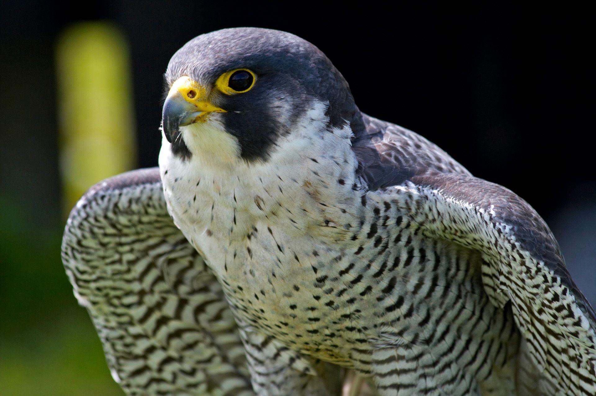 perigrine falcon raptors birds of prey pinterest falcons