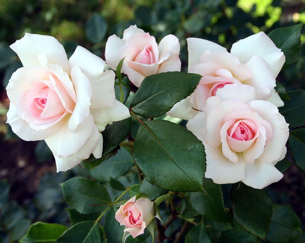 "Rose ""Bremer Stadtmusikanten"""