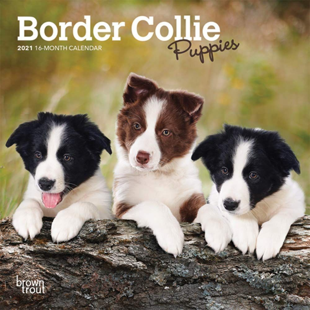 Border Collie Puppies 2021 7 X 7 Inch Monthly Mini Wall Calendar Animals Dog Breeds Collie Puppies Isbn 9 In 2020 Border Collie Puppies Collie Puppies Border Collie