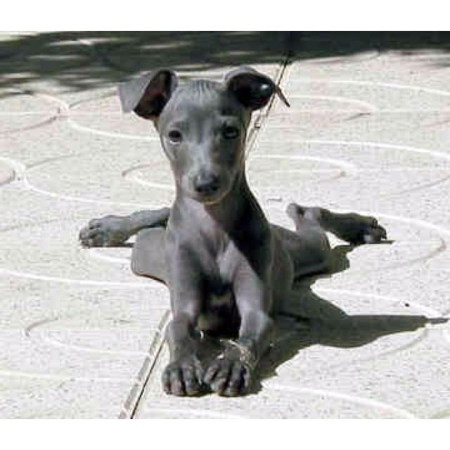 Miniature Italian greyhound- How can you say no to this ...