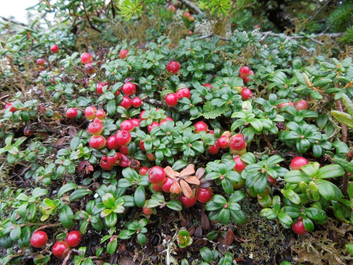 Mountain Cranberry, Lingonberry   Landscaping plants, Berry plants ...