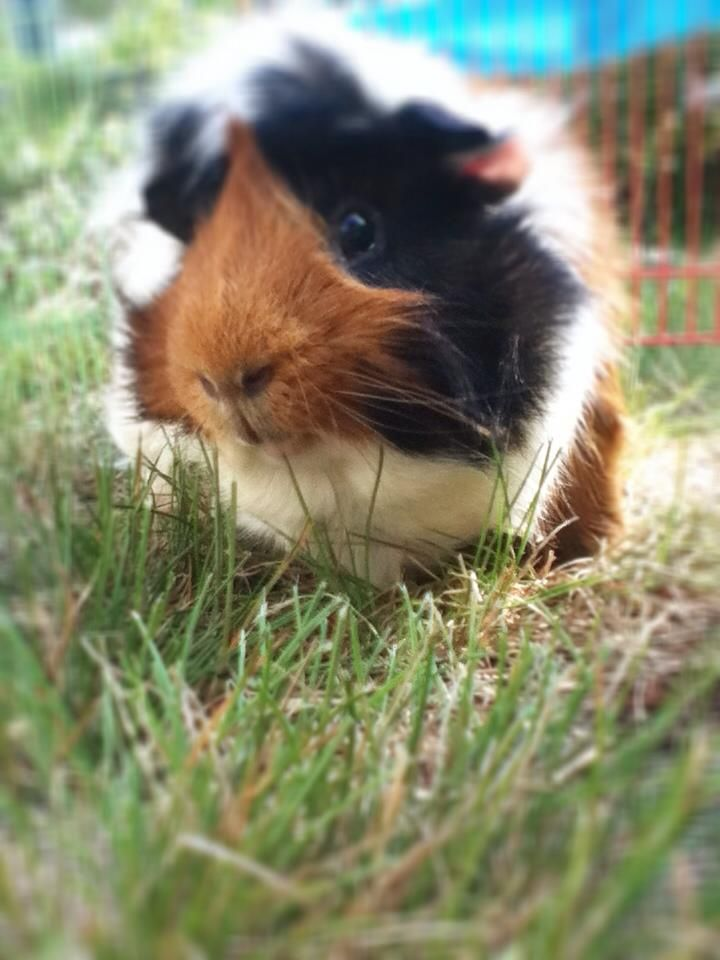 Guinea Pigs!  Click LIKE if you LOVE Rocky the guinea pig! Thanks goes to Britney for sharing, isnt he adorable?!?  Click http://smallpetselect.com/timothy-hay-for-guinea-pigs to spoil your piggies with the best timothy hay delivered FRESH to your door! And Be sure to use coupon code ★Pinterest★ for FREE SHIPPING!