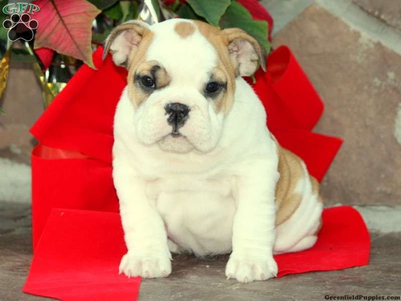 English Bulldog Puppies For Sale In Pa Bulldog Puppies For Sale