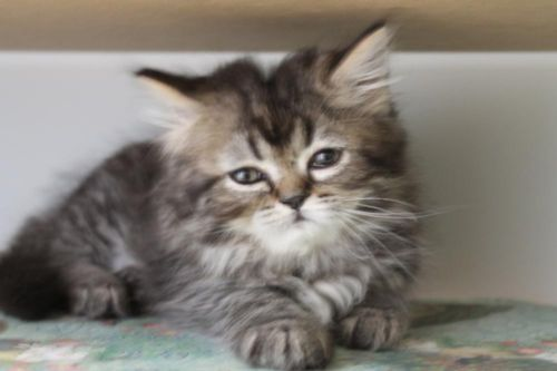 White Male Persian Kitten Available 3 Available 2 Girls And 1