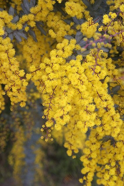 Cootamundra Wattle Acacia Baileyana Purperea Evergreen Trees Plants Australian Plants