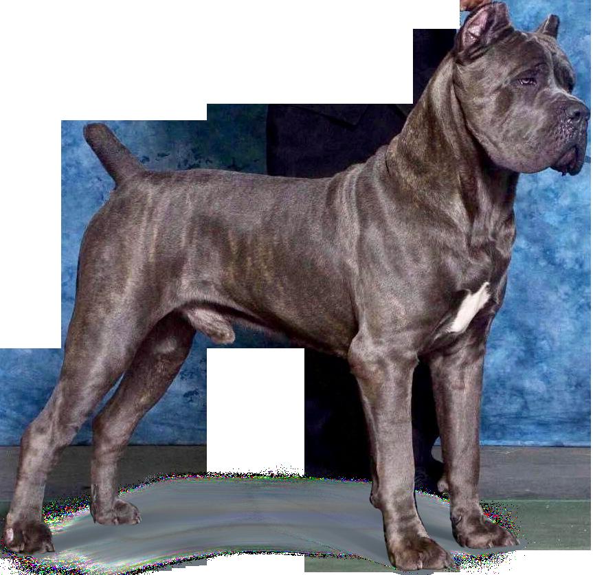 Picture Cane Corso Corso Dog Cane Corso Puppies