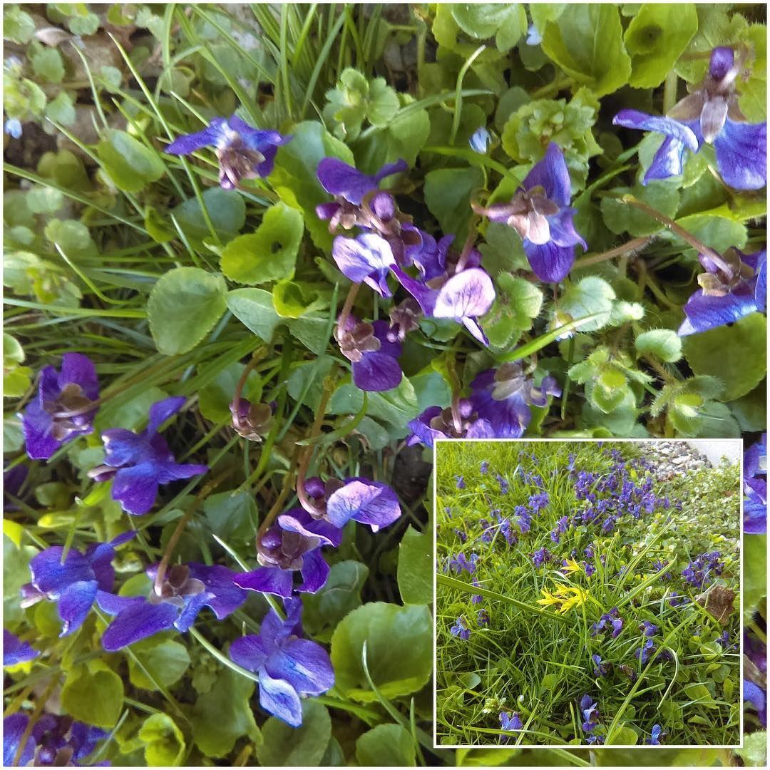 To dage med sol og græsplænen er blå ☀️ A little bit of sunshine and the lawn look like this ☀️ #spring #forår #violer #violets http://www.butimag.com/violets/post/1477409348296074115_1623533780/?code=BSAz_mBB2OD