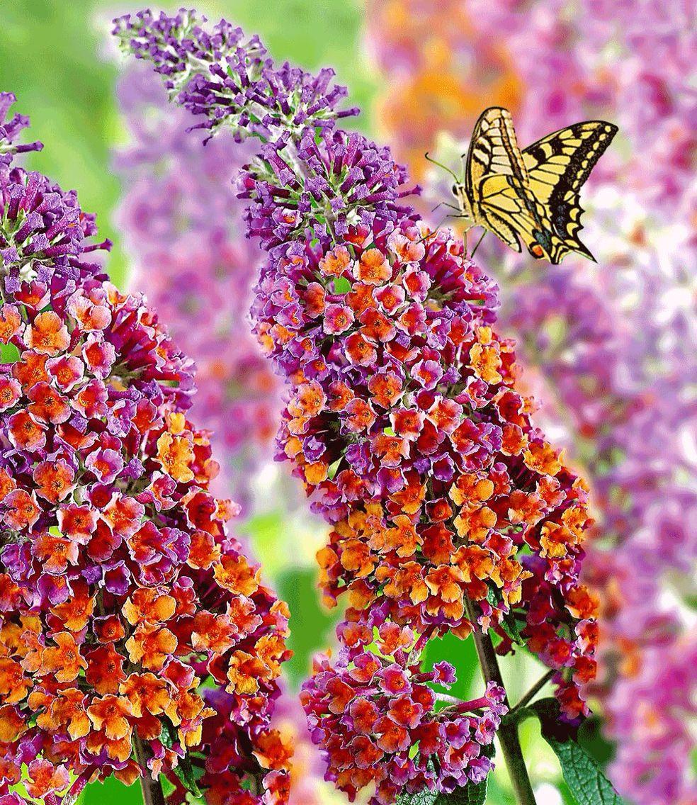 -Buddleia Butterfly Bush Plant in 2Ltr pot Tricolour Buddleja davidii