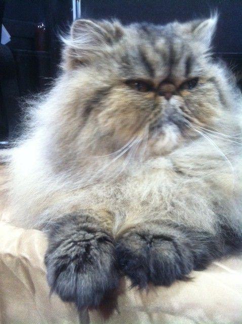 Tabby Cat Grooming Basics Tabby Cat Pictures Tabby Cat Persian Cat