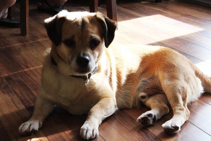 Adopt Teeters On Old Pug Pug Beagle Mix Pug Mix