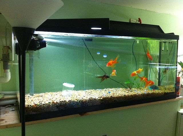 Freshwater aquariums 3 golden rules in keeping a for 10 gallon fish tank stocking ideas