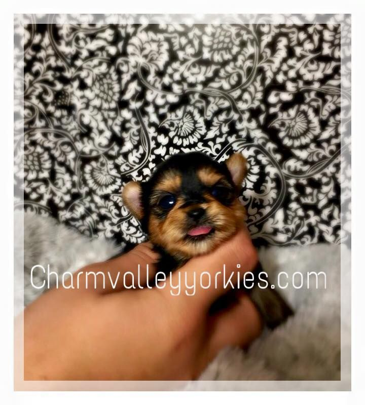 Charm Valley Yorkies, home of luxurious teacup baby doll