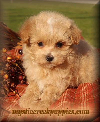 Available Maltepoo Or Maltipoo Puppies For Sale From Mystic Creek