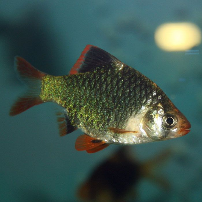 Green Tiger Barb Puntius Tetrazona Small Barbs Aquarium Fish Freshwater Aquarium Fish