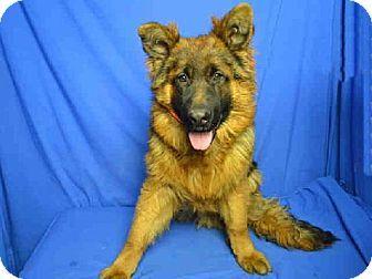 St Louis Mo German Shepherd Dog Meet Bo A Dog For Adoption