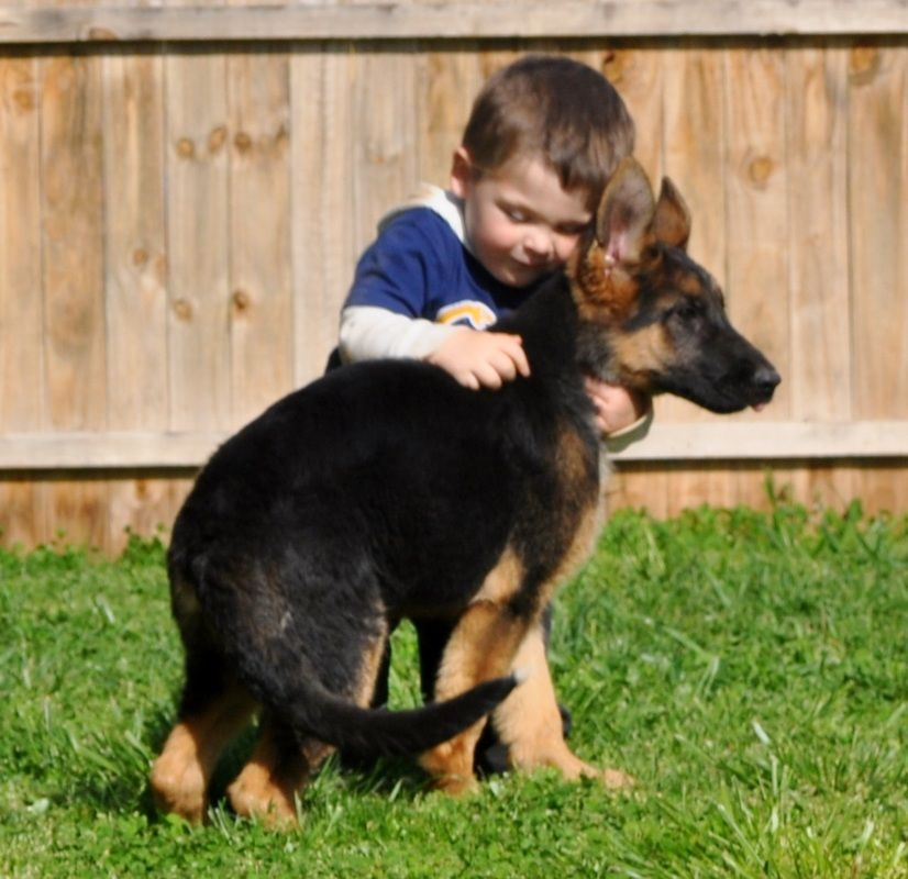 European German Shepherds For Your Family World Class Champion