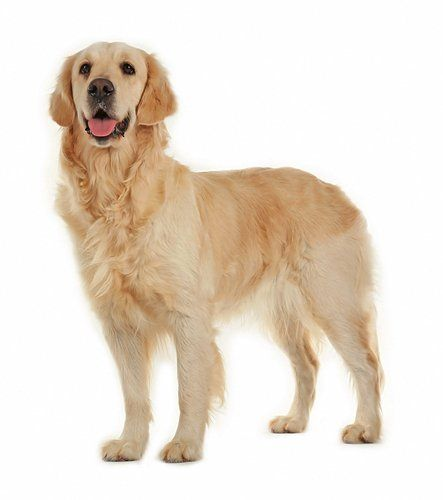 Golden Retriever Breed Information Photos History And Care