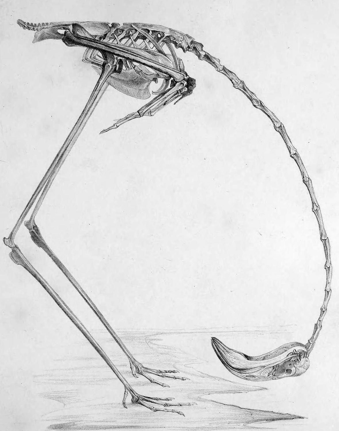 Image result for flamingo anatomy | Flamingos | Pinterest | Flamingo ...