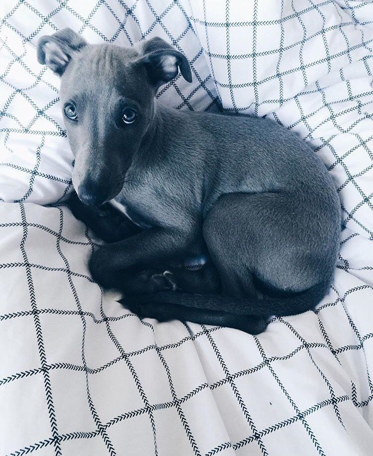 Blue Velvet Whippet Whippets Are Good For Both Homes With Yards And Apartments Beware They Think They Are Royal A Whippet Dog Whippet Puppies Greyhound Puppy
