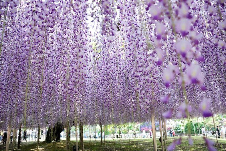 Ashikaga Flower Park Japan Cay đậu Tia Hoa Du Lịch