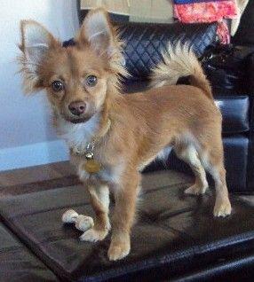 Pin By Makayla On Animals Pomeranian Chihuahua Mix Chihuahua