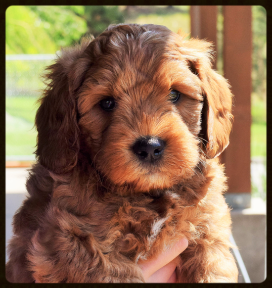 This Red Labradoodle Puppy Is So Adorable I Love How Curly Its Fur Is It Is Nice That The Fur Isn T To Matt Labradoodle Labradoodle Puppy Cute Little Puppies
