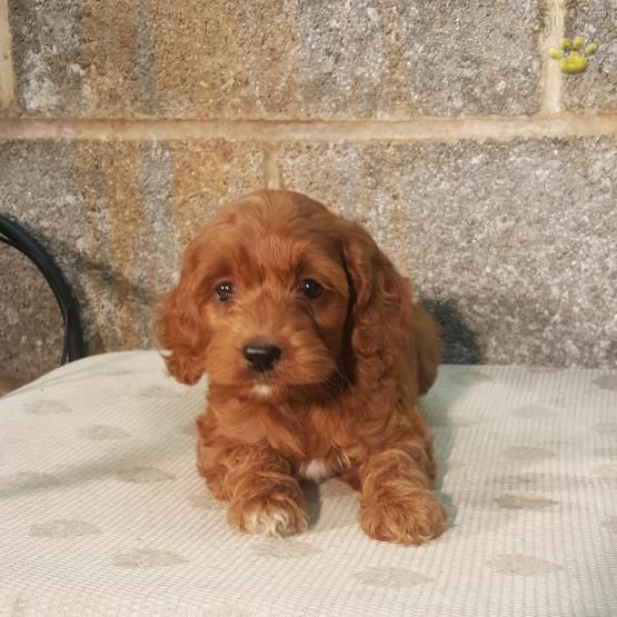 Shelly Cockapoo Puppy For Sale In Mifflinburg Pa Lancaster