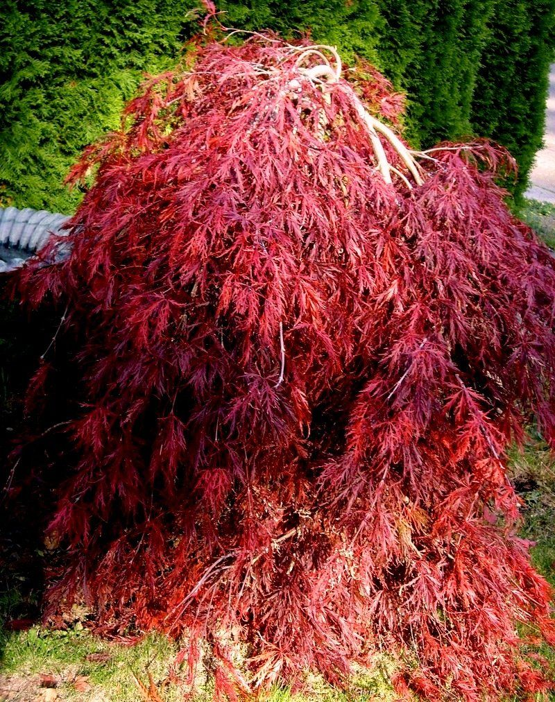 Red dragon weeping japanese maple acer palmatum dissectum Japanese maple leaf