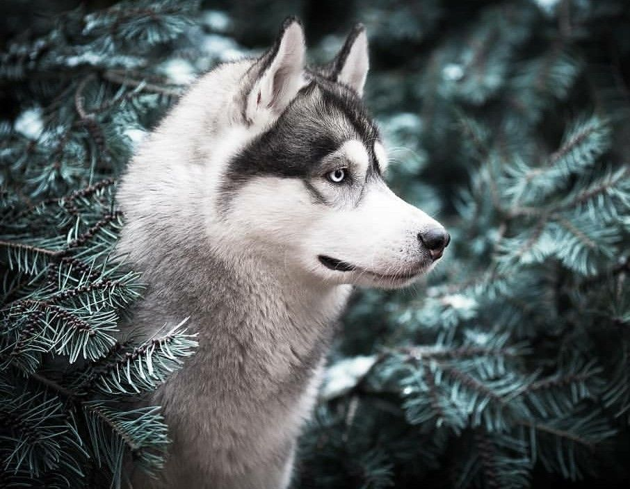 Siberian Husky One Friendly And Playful Dog Dogs Fluffy Dogs